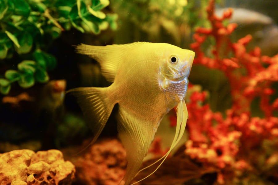 how fast do angelfish grow