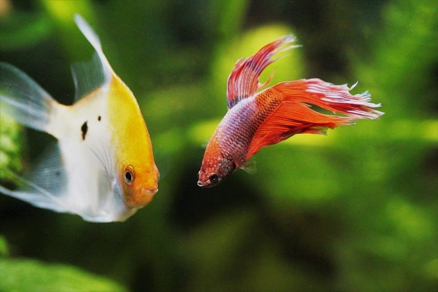 can betta fish live with angelfish
