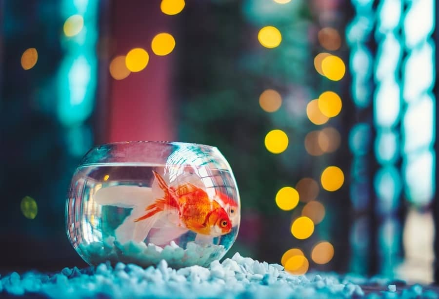 can goldfish live without a filter