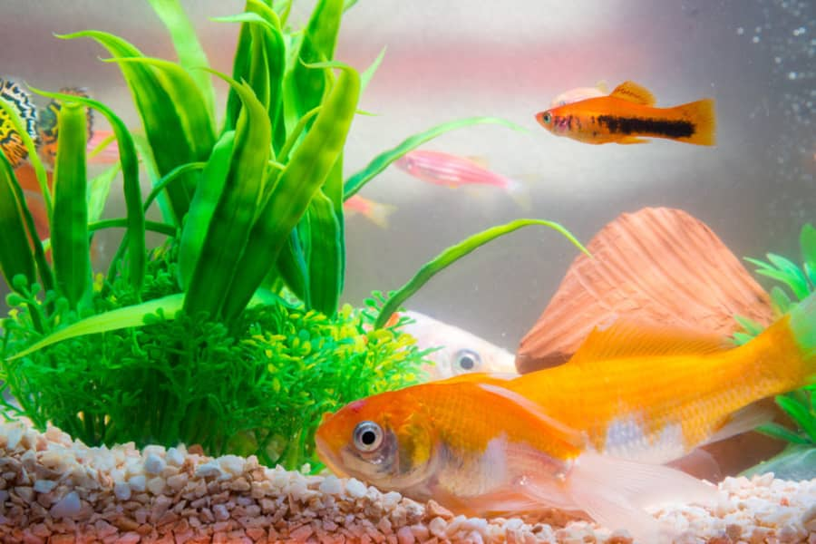 can goldfish and platies live together