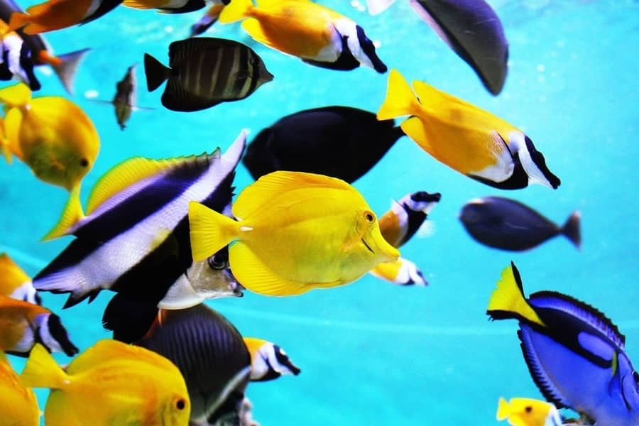 how long can tropical fish live without food