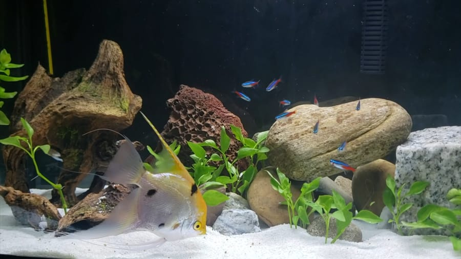 can angelfish live with neon tetras