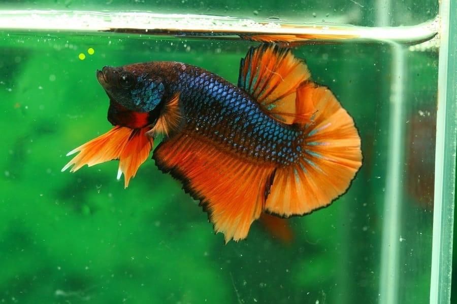 can betta fish eat koi food