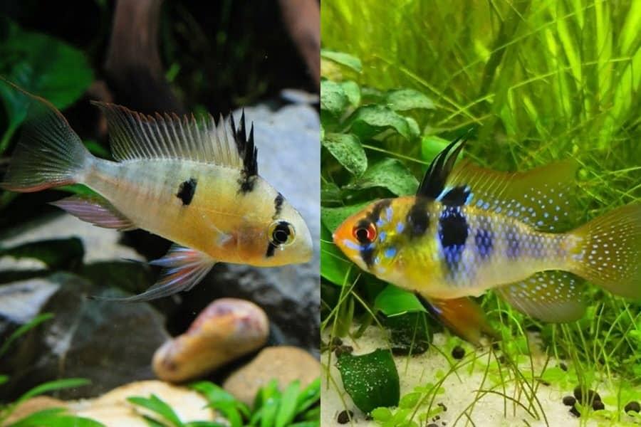 bolivian ram vs german blue ram