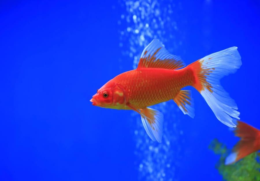 do goldfish need a bubbler