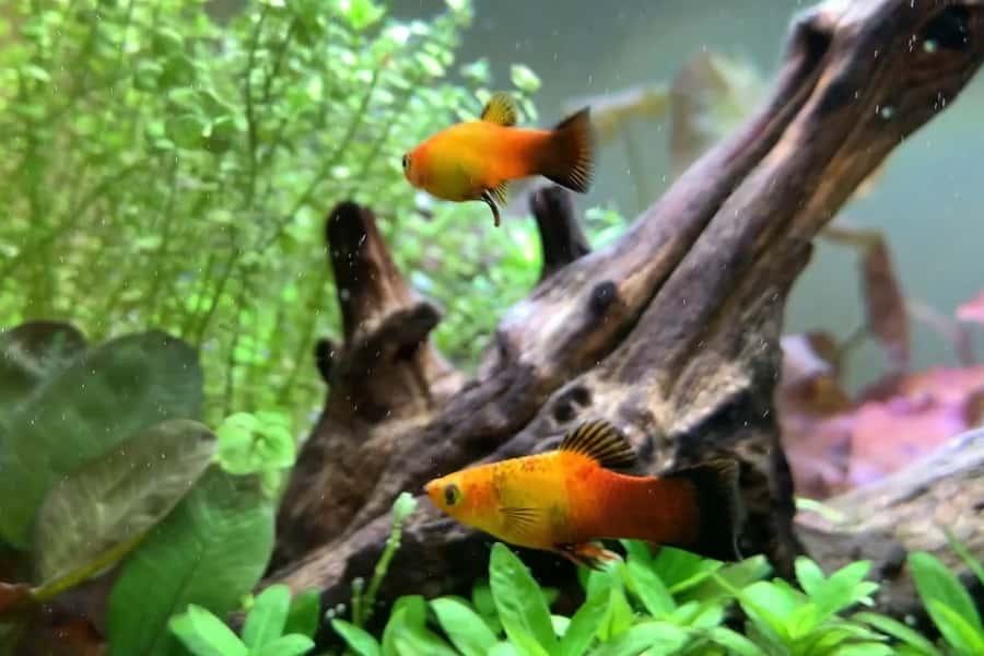 are platies schooling fish