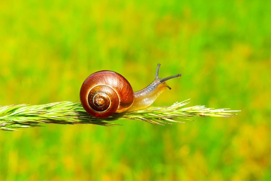 how to acclimate snails